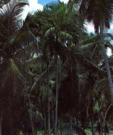 Арековая пальма, или катеху